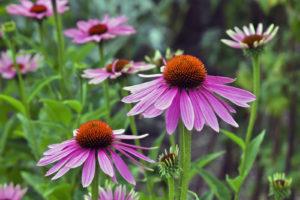 Do Plants Other Than Cannabis Contain Cannabinoids